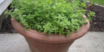Plant oregano correctly
