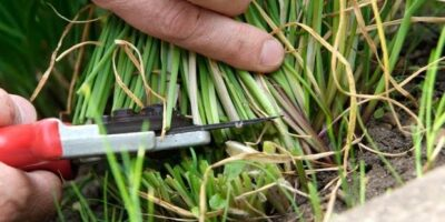 Cutting chives