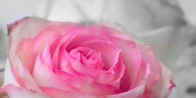 Cutting roses
