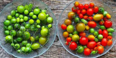 ripen green tomatoes quickly