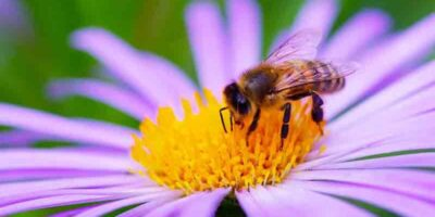 grow bee-friendly plants
