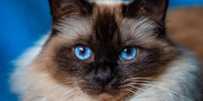 most popular cat breeds