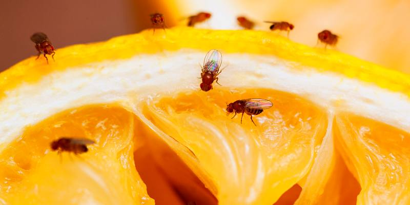 get rid of fruit flies with home remedies