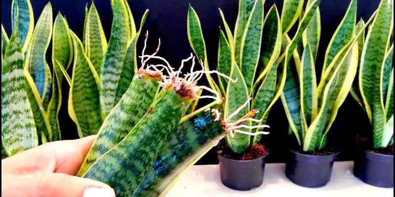 how to propagate snake plant