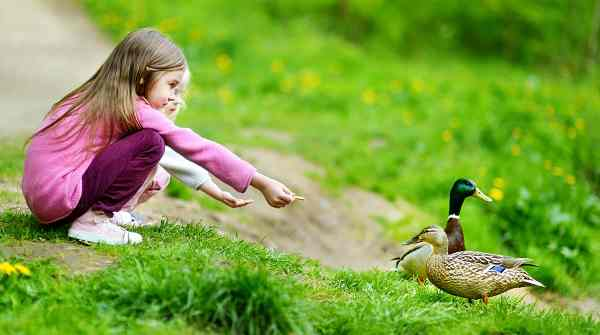 what to feed ducks