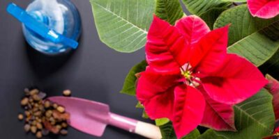 How to care for pointsettia