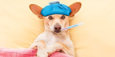 how to take dogs temperature