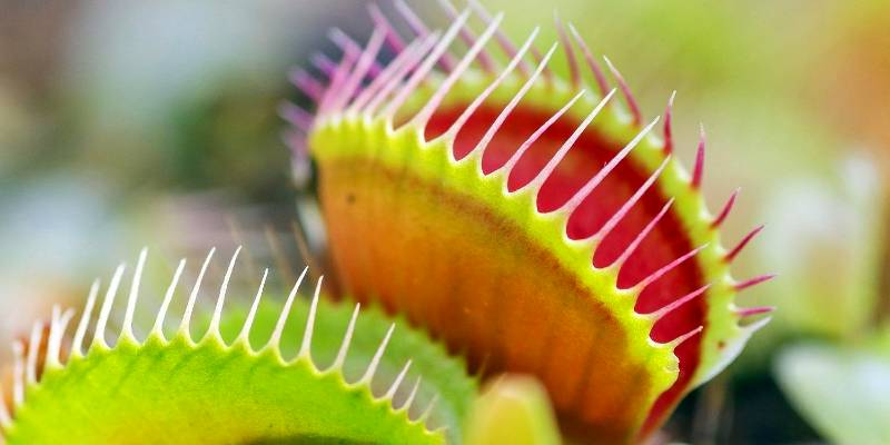 how to care for a venus fly trap