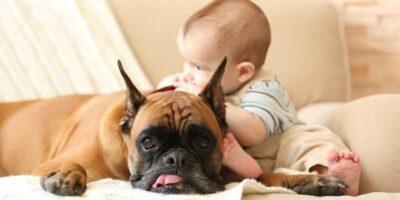 boxer dog temperament (1)